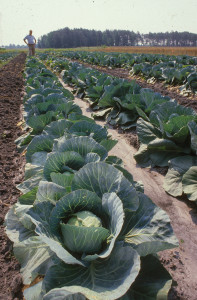 Cover photo for Vegetable Production Update - September 28, 2018