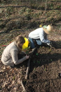 Two women planting woodland herbs