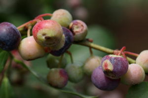 Cover photo for Exobasidium Disease in Blueberries