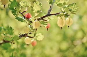 Gooseberry fruits hanging from a branch