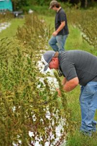 Hemp in field with workers