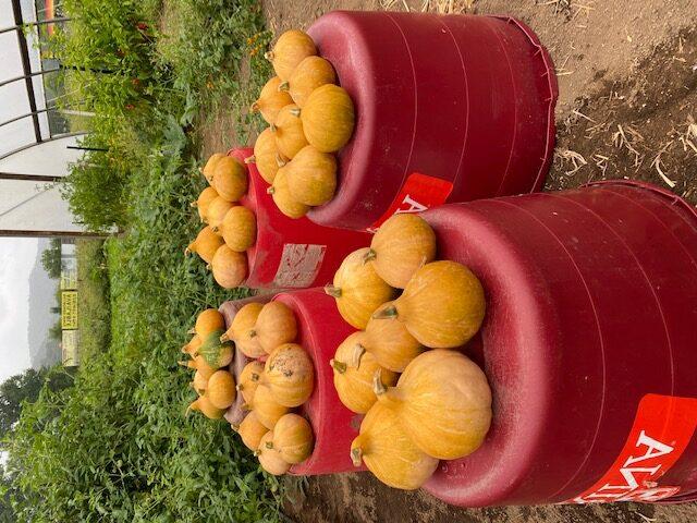 Cherokee Tan pumpkins gathered in field