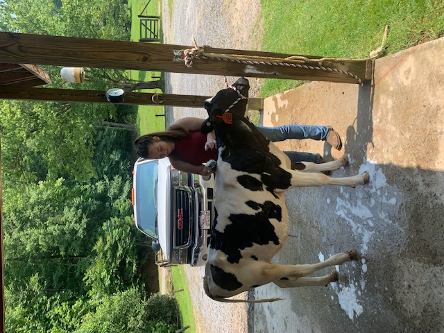 Girl caring for dairy steer